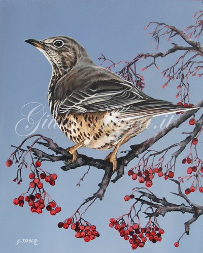 Tordela (turdus viscivorus viscivorus) - Jahr 2011 - Private collection