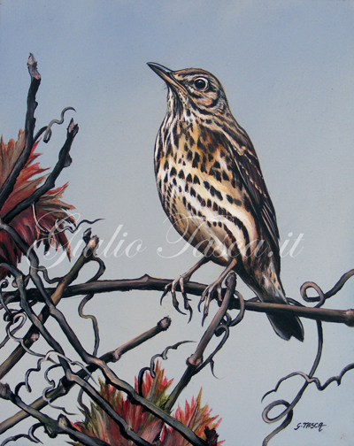 Tordo bottaccio (turdus philolelos philomelos) - Jahr 2011 - Private collection