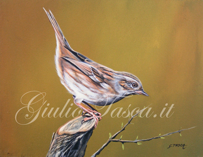 Passera scopaiola (prunella modularis modularis) - Jahr 2011 - Private collection