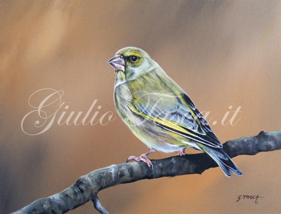 Verdone (carduelis chloris chloris) - Jahr 2011 - Private collection