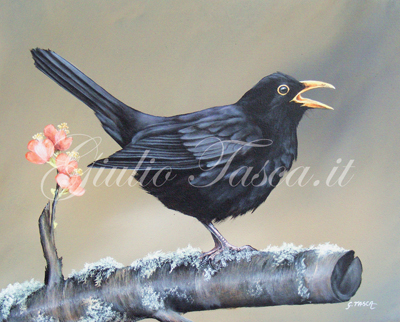 Merlo (turdus merula merula) - Jahr 2011 - Private collection