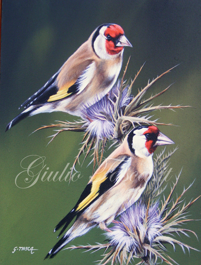 Cardellino (carduelis carduelis) - Jahr 2011 - Private collection