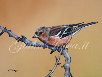 Fringuello (fringuilla coelebs  coelebs) - Jahr 2011 - Private collection