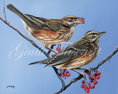 Tordo sassello (turdus iliacus iliacus) - Jahr 2011 - Private collection